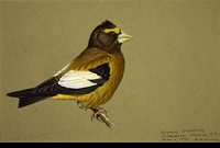 WEBER:  EVENING GROSBEAK</a><br><b>- SOLD</b>