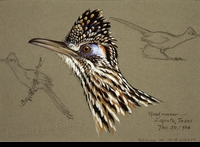 WEBER:  ROAD-RUNNER FIELD STUDY</a><br><b>- SOLD</b>