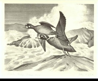 19 -- 1952 -- Dick -- Harlequin Ducks