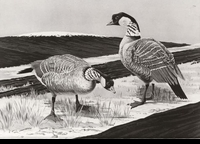 31 -- 1964 -- Stearns -- Geese