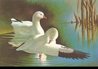 37 -- 1970 -- Bierly -- Ross' Geese