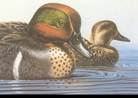 46 -- 1979 -- Michaelsen -- Green-Wing Teal