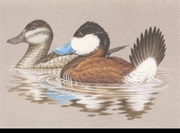 48 -- 1981 -- Wilson -- Ruddy Ducks