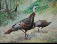 HINES:  TURKEY PAIR