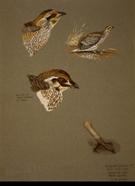 WEBER:  SHARPTAIL GROUSE FIELD STUDY</a><br><b>- SOLD</b>