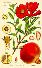 About the Pomegranate
