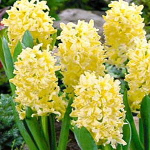 Hyacinth 'Gypsy Princess'