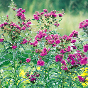 Ironweed Seeds