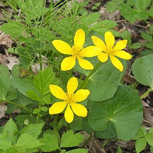 Marsh Marigold Seeds