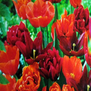 Value Bag - Tulip 'Endless Orange Blend'