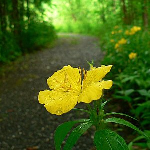 Missouri Primrose Seeds