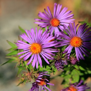 New England Aster Seeds