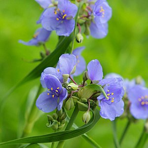 Ohio Spiderwort Seeds