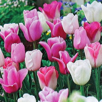 Tulip 'Pretty In Pink Mix'