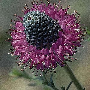 Purple Prairie Clover Seeds