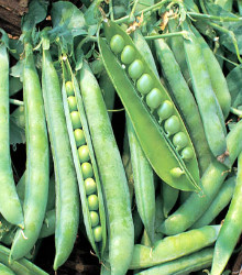Peas - Laxton's Progress Seeds