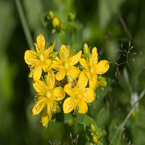 Great St. John's Wort  Seeds
