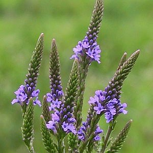 Vervain Blue Seeds