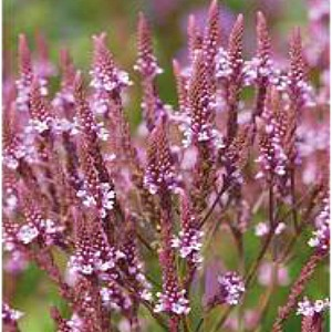 Vervain Pink Seeds