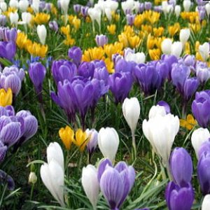 Crocus 'Large Flowering Mix'