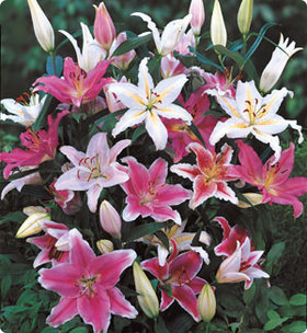 Lily 'Fragrant Mix'