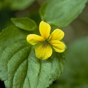 Wild Yellow Violet Seeds