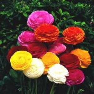 Persian Buttercup Mix