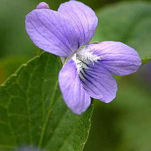 Violet - Common Blue Seeds