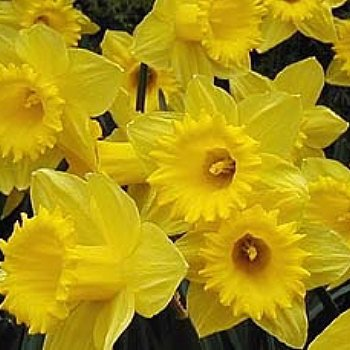 Daffodil 'Dutch Master'