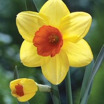 Daffodil 'Red Devon'