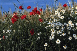 Wildflower Seed Mixes<br/> Southwest Region