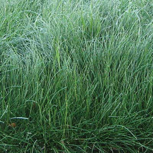 Creeping Red Fescue Grass Seeds