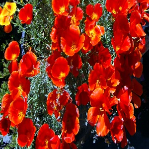 California Poppy Red Seeds