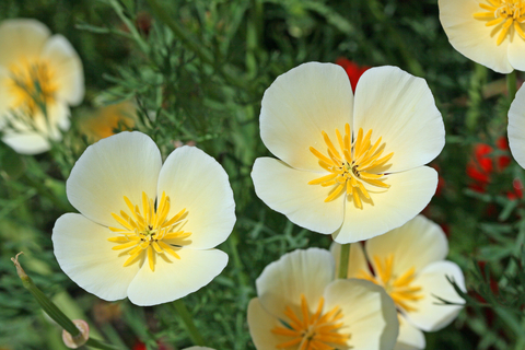 California Poppy White Seeds
