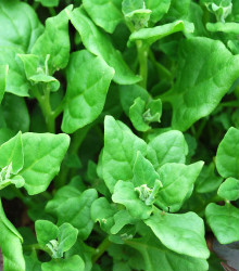 Spinach - New Zealand Seeds