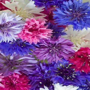 Cornflower Multi Seeds