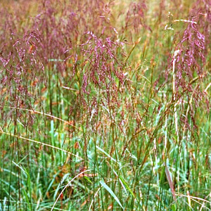 Purpletop Grass Seeds