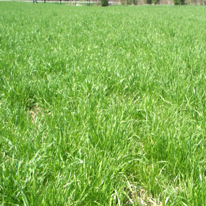 Annual Ryegrass Seeds