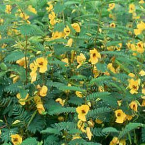 Partridge Pea Seeds
