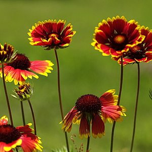 Blanket Flower Seeds