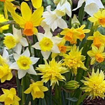 Value Bag - Daffodil 'Rock Garden Mix'