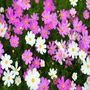 Cosmos Dwarf Mix Seeds