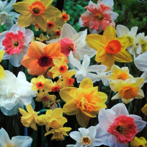 Value Bag - Daffodil 'All in One'