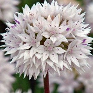 Allium Bulb 'Graceful'