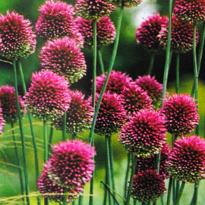 "Allium ""Drumsticks'"