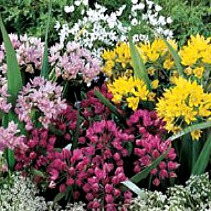 Allium Bulbs 'Mountain Bells Mix'