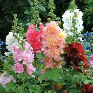 Hollyhock Dwarf Mix Seeds