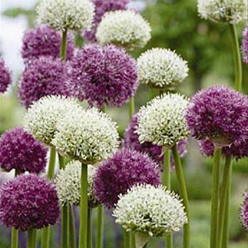Value Bag - Wild About Allium