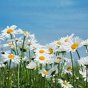 Ox Eye Daisy Seeds
