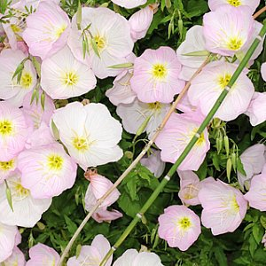 Showy Evening Primrose Seeds